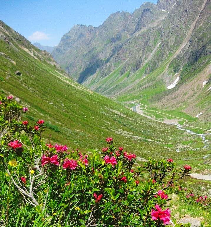 Alpine rose in the Pollestal