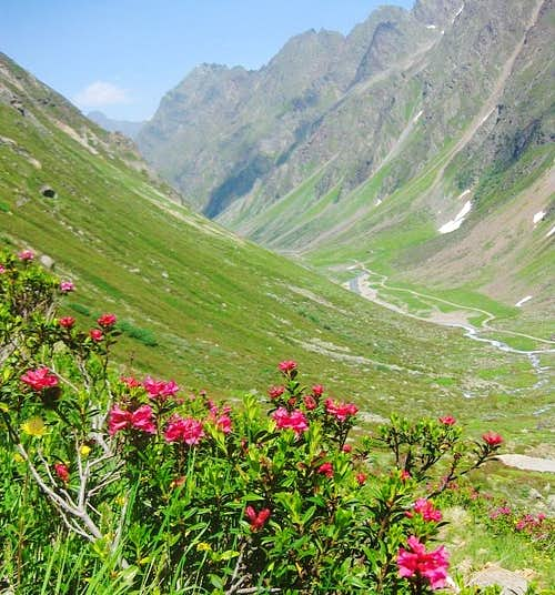 Alpine rose in the Pollental