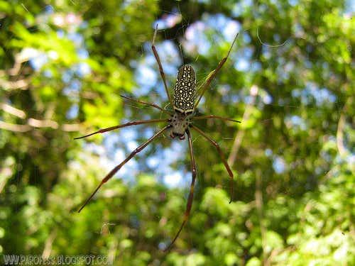 The nephila...big but harmless