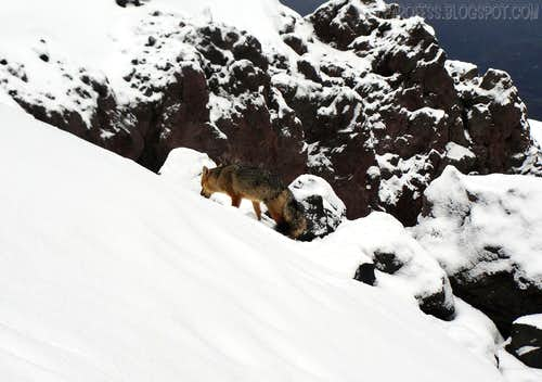 Andean fox on Cotopaxi