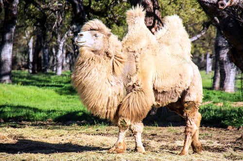 Bactrian camels  in the Mayacama Mountains