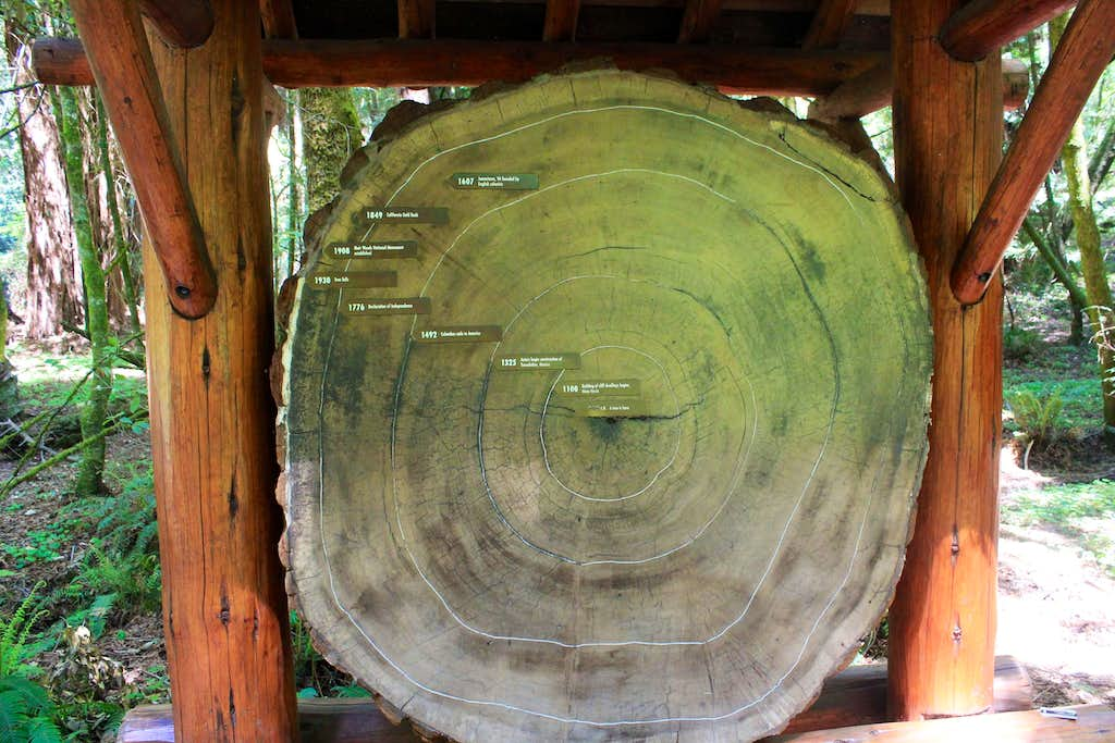 Muir Woods National Monument Redwood Cross-Section