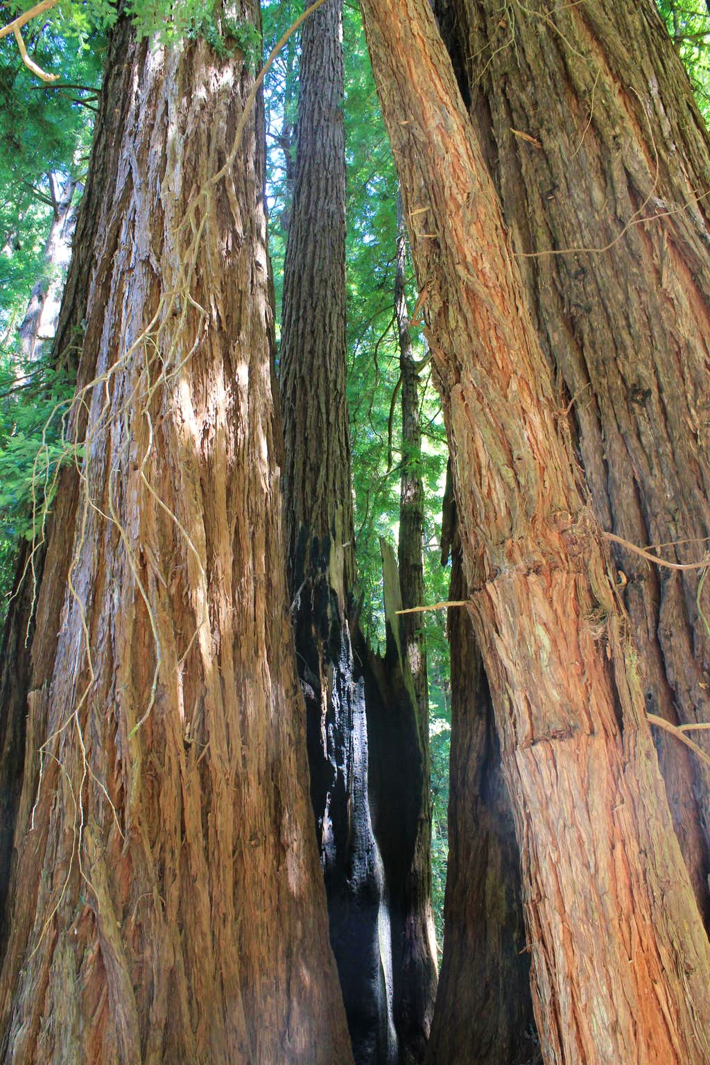 Muir Woods National Monument New Growths from Ancient Redwood