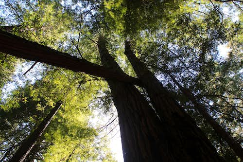 Muir Woods National Monument Interesting Aerial Redwood Configuration