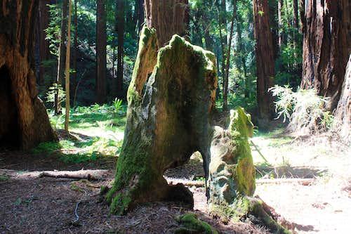 Muir Woods National Monument Redwood Stump