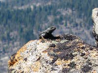 Lizard on LeConte Point