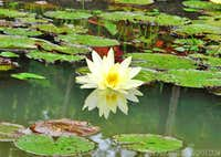 <b><i>Nymphaea Odorata</b></i>. Gorgeous water flower.