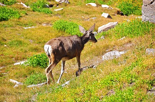 Mule Deer seen near the wash