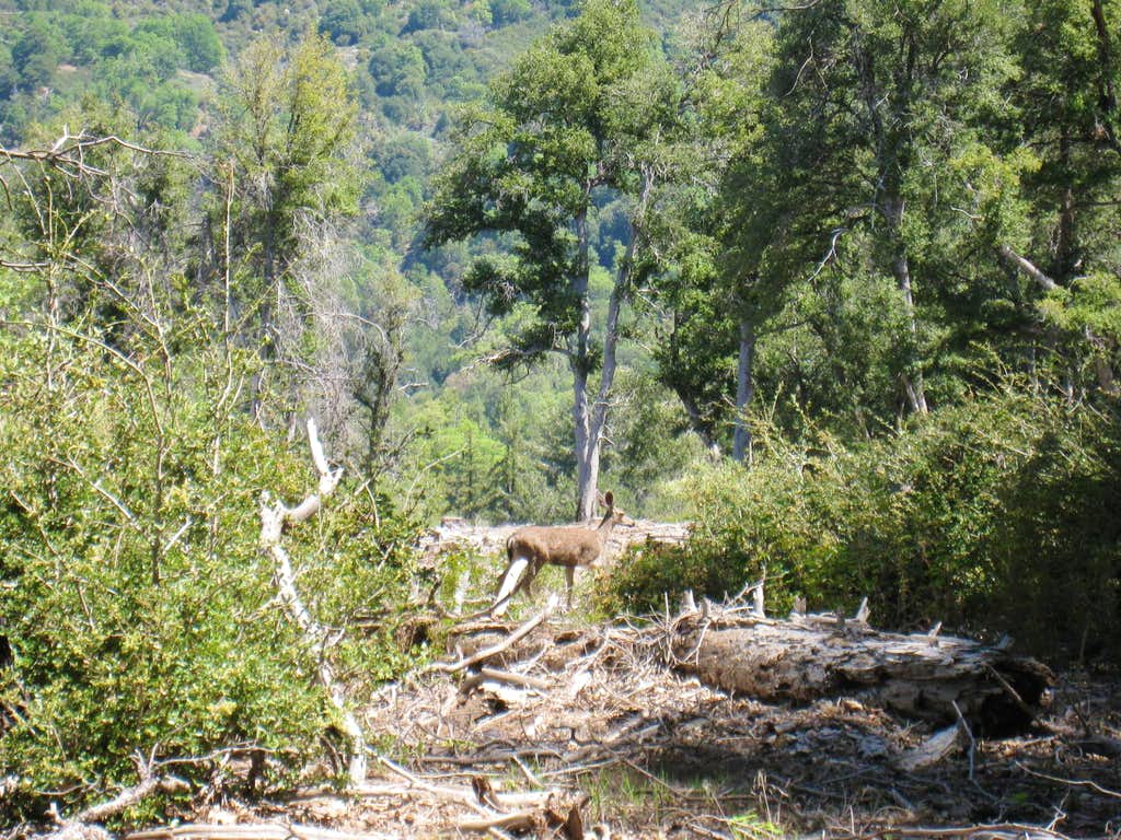 Deer on Scott's Cabin trail