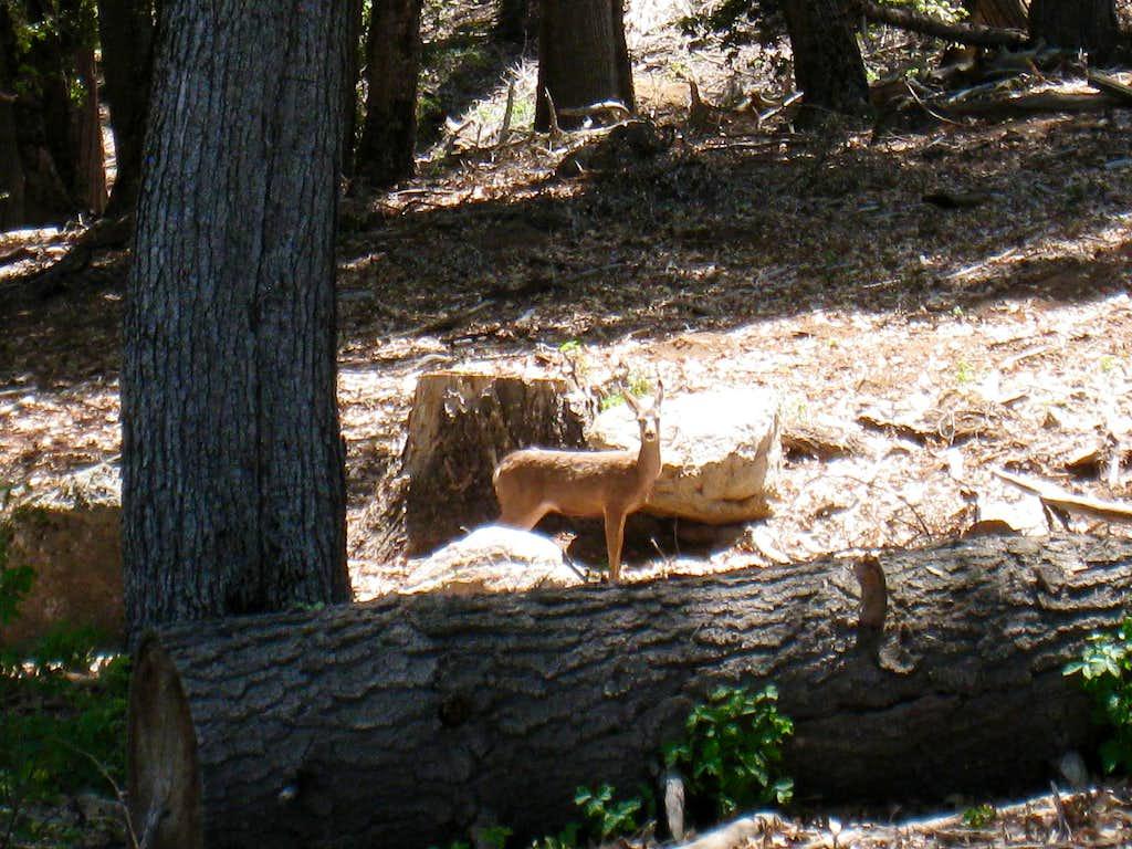 Deer # 2 on Scott's Cabin Trail