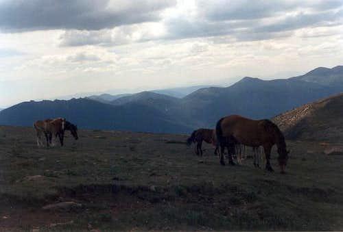 A grazing herd of horses near...
