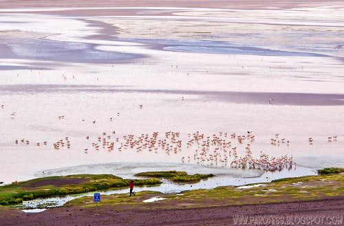 A lot of flamingoes, one human