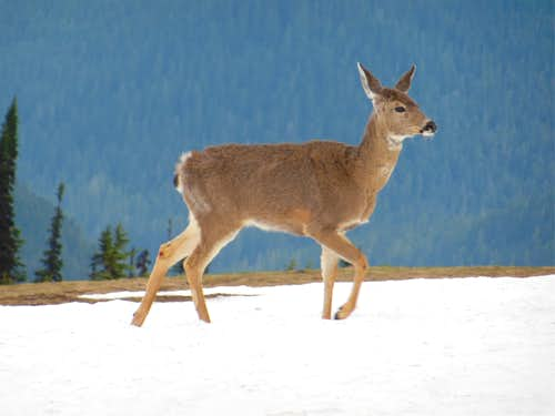 Olympic black-tailed deer