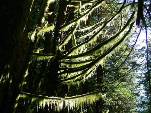 Sun Light on Mossy Branches