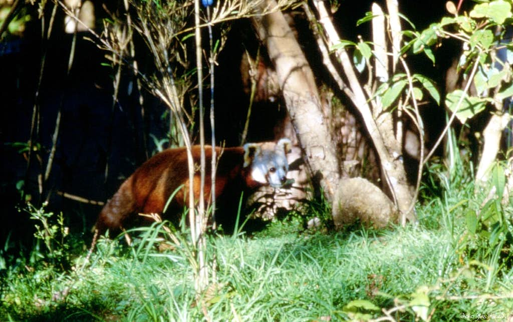 The rare Himalayan red panda hiding itself in the forest