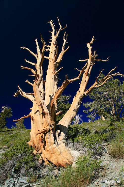 Bristlecone Pine on Telescope Peak
