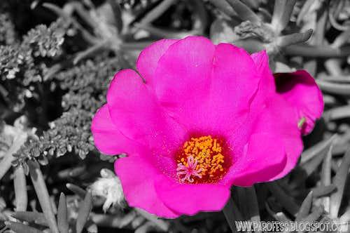 A flower within a flower: <b><i>Portulaca grandiflora</b></i>
