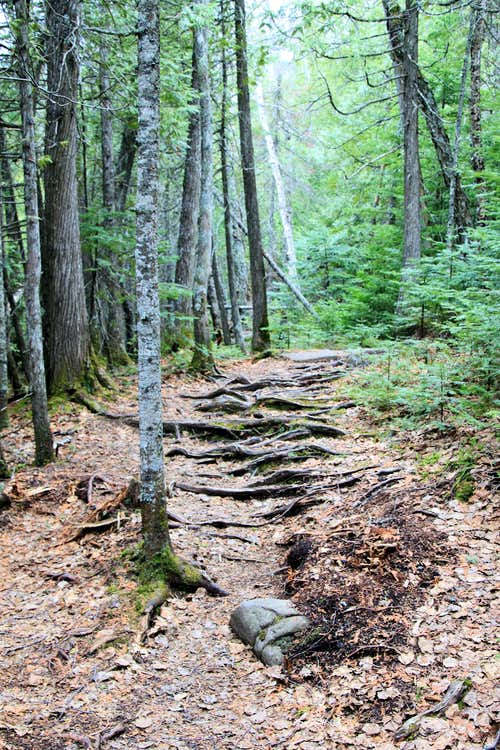 Trail roots