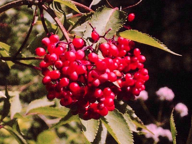 Berries next to the Stuibenfall