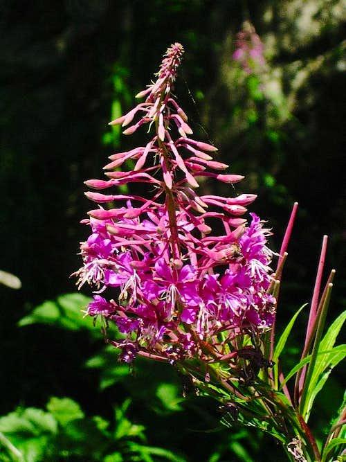 Flower alongside the Stuibenfall