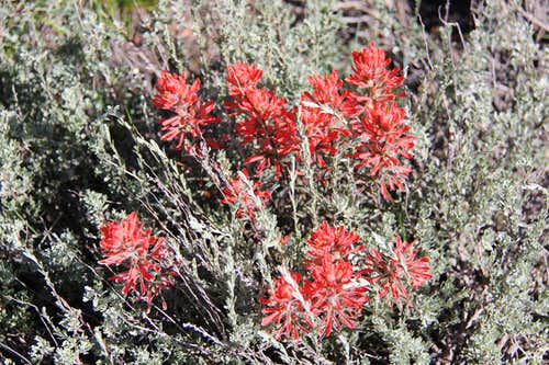 INDIAN PAINTBRUSH ALONG JACOBS LADDER TRAIL