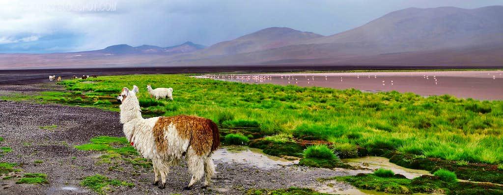Llamas and flamingoes, Laguna Colorada...