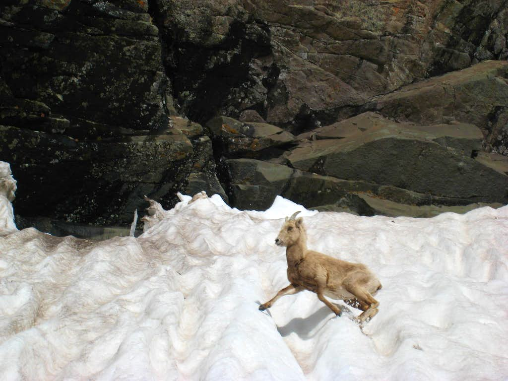 The goat that almost killed us