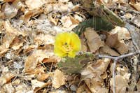 Yellow Flower in Barrel Cactus with Bee in Grand Canyon