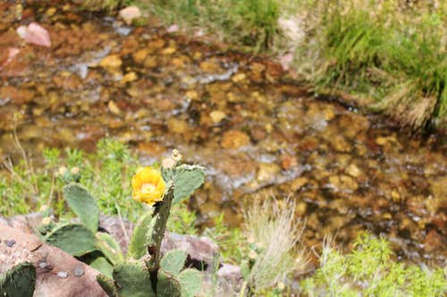 Yellow Flower in Barrel Cactus above Kaibab Creek