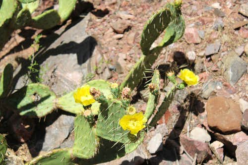 Yellow Flowers in Barrel Cacti in Grand Canyon