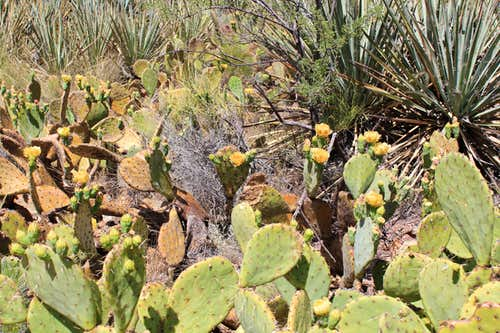 Bed of Barrel Cacti with Blooms on North Kaibab Trail