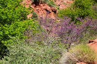 Flowering Bushes on North Kaibab Trail
