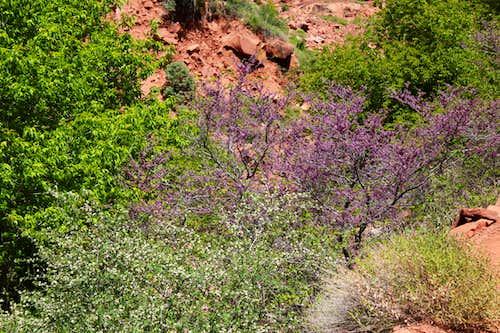 Flowering Bushes on North Kaibab Trail