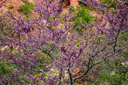 Flowering Tree on North Kaibab Trail