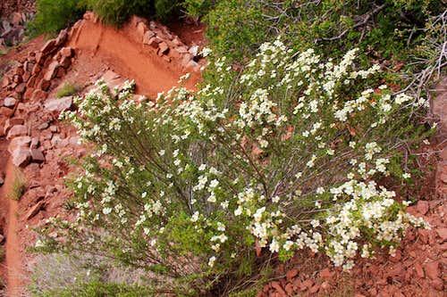 Flowering Bush on North Kaibab Trail