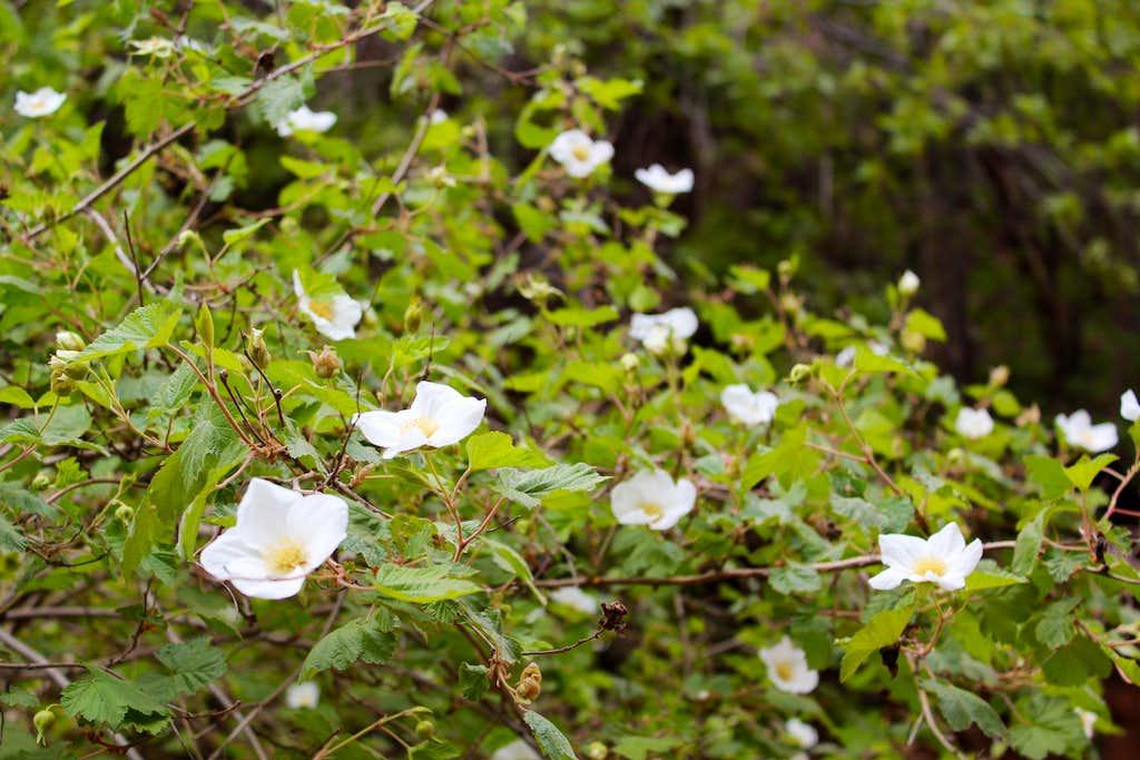 Flowering Vines on North Kaibab Trail