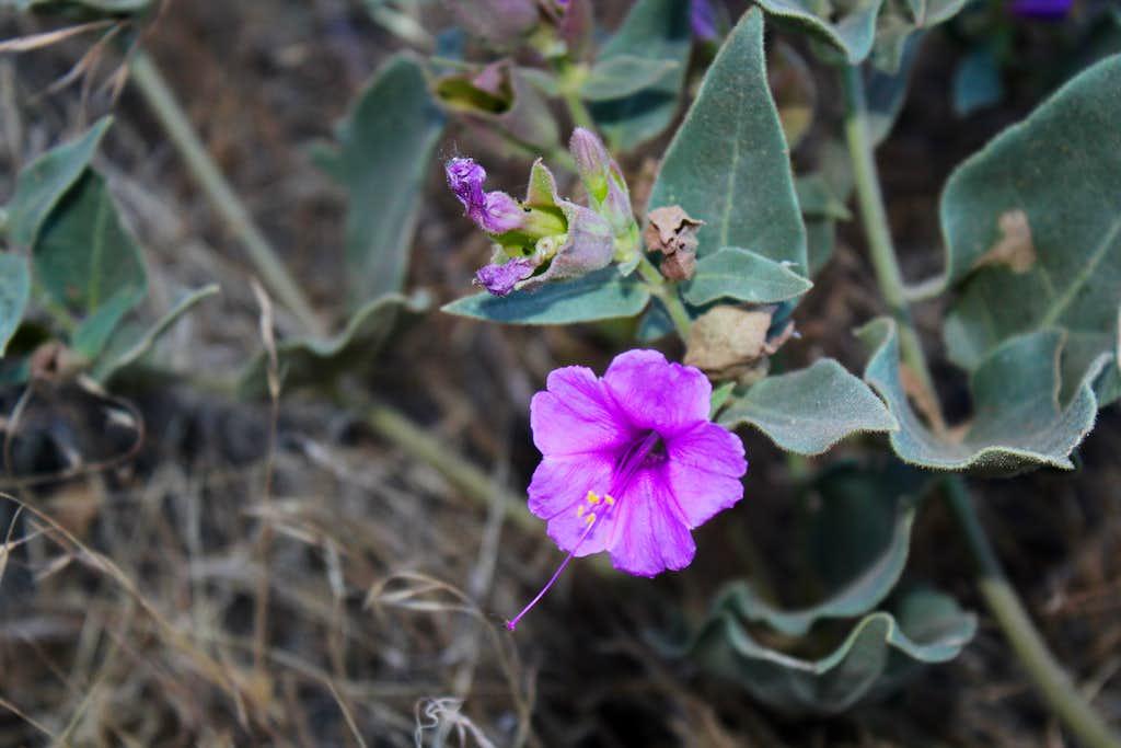 Purple Flower on North Kaibab Trail