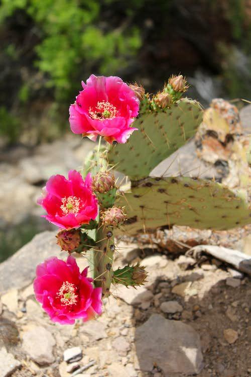 Red Flowers in Barrel Cactus below Indian Gardens Campground