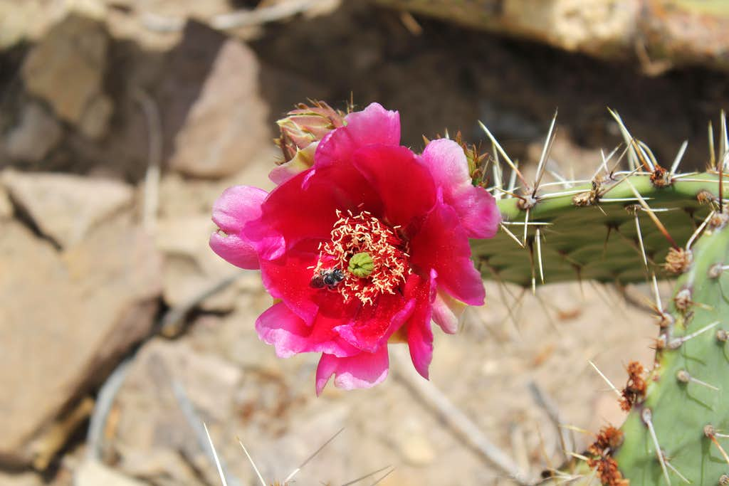 Red Flower Barrel Cactus with Bee Close Up Bright Angel Trail