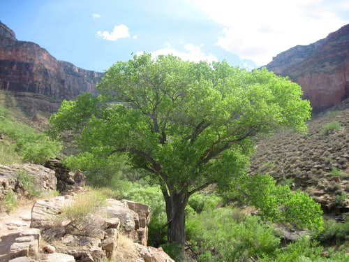 Large Cottonwood Tree in Grand Canyon on Bright Angel Trail
