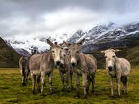 donkeys in laguna mitococha camp