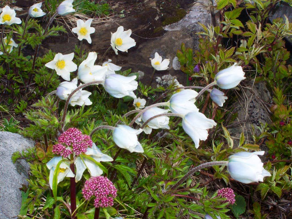 Alpine pasqueflower