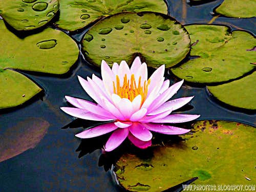 <b><i>Nymphaea Rubra</b></i>. Gorgeous water flower.