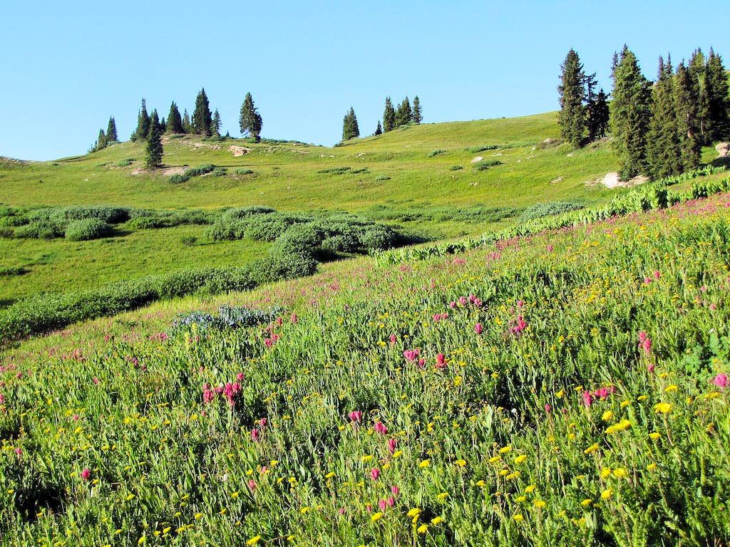 Wild flowers near treeline