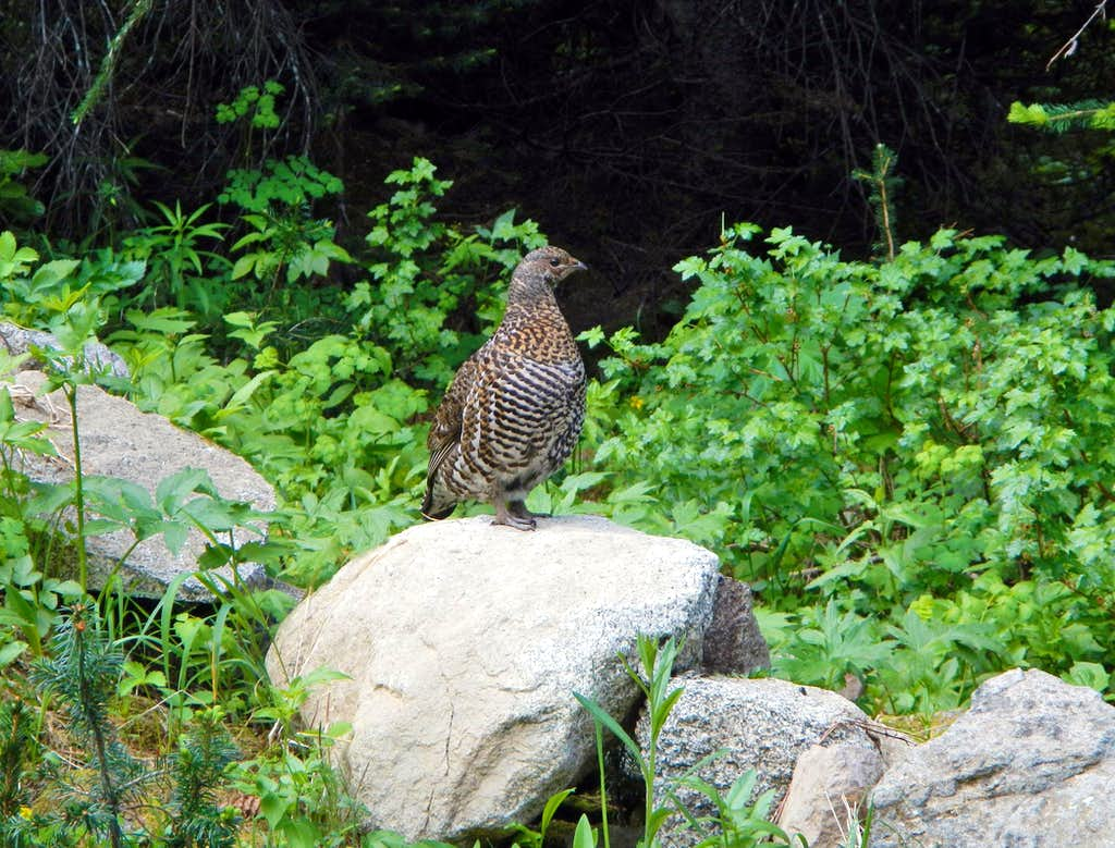 Ptarmigan Standing On Rock