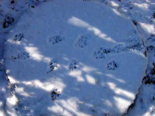 Coyote tracks. I think I...