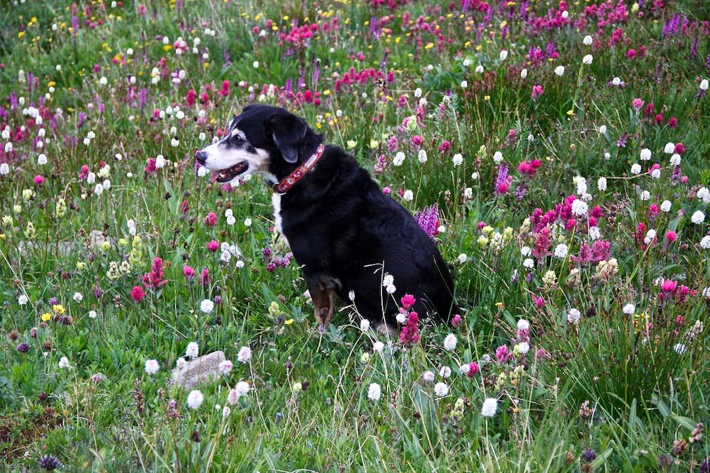 Duchess and wildflowers