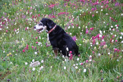 Duchess and wildflowers