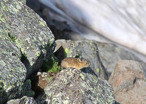 Pika on the route