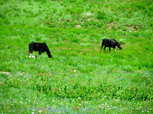 Albion Basin moose